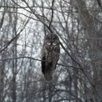 """Great Gray Owl - Perched"" by MorelandPhotography"