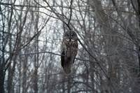 Great Gray Owl - Perched