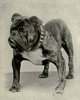 Vintage English Bulldog Photograph
