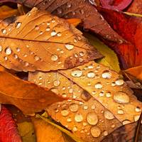 Colorful autumn leaves with raindrops
