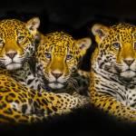 """""""Jaguars"""" by Wiktor"""