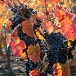 """Light through Fall Vineyard"" by Groecar"