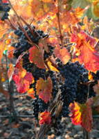 Light through Fall Vineyard