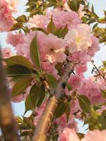 Pink Blossoms 5
