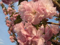 Pink Blossoms 6