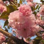 """Pink Blossom 1"" by JoyfulLens"