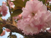 Pink Blossoms 8