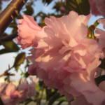 """Pink Blossom 3"" by JoyfulLens"