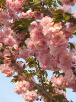 Pink Blossoms 7