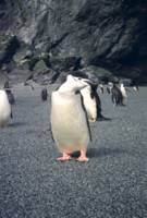Chinstrap Penguin Waddle