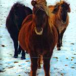 """3 Icelandic Horses in the Snow"" by Karlita246"
