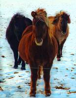3 Icelandic Horses in the Snow