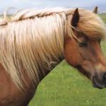 """Icelandic horse dreams in the sun"" by Karlita246"