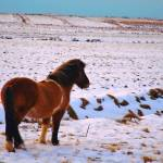 """Icelandic horse in field of snow"" by Karlita246"