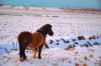 Icelandic horse in field of snow