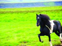 Icelandic Stallion, Running