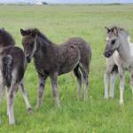 """Three Icelandic Colts"" by Karlita246"