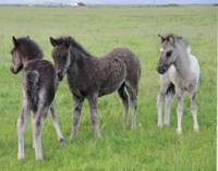 Three Icelandic Colts