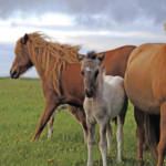 """Icelandic colt with 2 mares"" by Karlita246"
