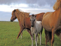 Icelandic colt with 2 mares