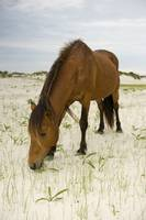 Wild Pony of Assateague Island