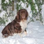"""Newfie By Snowy Pines"" by Photostahre"