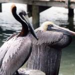"""Pelicans Perching"" by MorelandPhotography"
