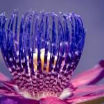 """Passiflora Alata - Ruby Star - Ouvaca - Fragrant G"" by sharonmau"