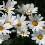 """MARGUERITE DAISIES"" by edesigns15"