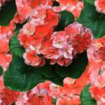 """Geraniums-1"" by diane"