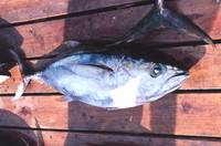 Yellowfin Tuna caught