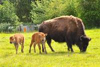 Washington State Baby Bison