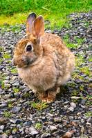 Oregon Wild Rabbit