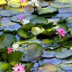 """Colorful Water Lilies on the Pond"" by Groecar"