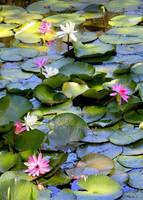 Colorful Water Lilies on the Pond