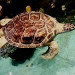 """Aquatic Turtle copy"" by Kimmary"