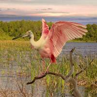 """Roseate Spoonbill Perching"" by spadecaller"