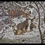 """Mule deer in winter"" by Melani"