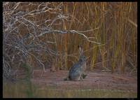 Sand Hollow jackrabbit