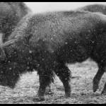 """Bison in the snow"" by Melani"