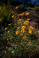 Black Eyed Susans For Fall