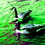 """Canada Geese"" by SteveWalton"