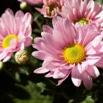 """Pink Chrysanthemum"" by Reflector"