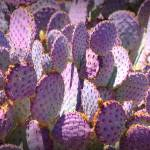 """Purple Cacti"" by Groecar"