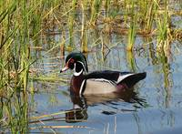 Wood Duck on St. George Lake