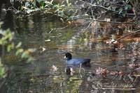 Reflective Coot 20131030_17a