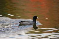 Autumn Coot 20131030_68a