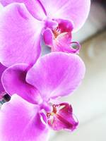 Pink Orchid #1