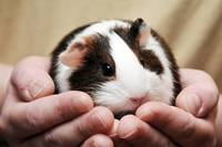 Guinea Pig In Hands