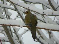 Dove on the Snow Covered Tree Branches
